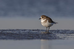 Två-satt band brockfågel & x28; Charadriusfalklandicus& x29; Royaltyfria Foton