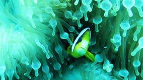 Två-satte band clownfish i havsanemon i Maldiverna arkivfilmer