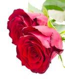 Två scharlakansröda röda rosor Royaltyfri Bild