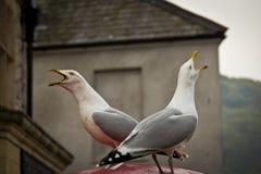 Två seagullfåglar som kvittrar mitt emot till varandra royaltyfri fotografi