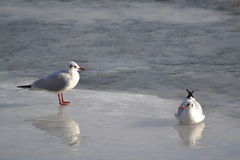 Två seagulls Arkivbilder