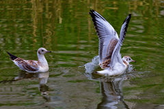 Två seagulls Arkivfoton