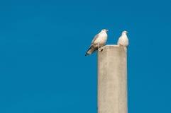 Två seagulls Arkivfoto