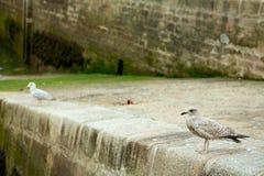 Två seagulls Brittany Frankrike Arkivbilder