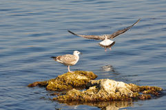 Två seagulls i barnslig plumage fotografering för bildbyråer