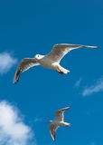 Två seagulls i himlen Arkivfoton