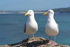 Två seagulls i St Ives, Cornwall England. Fotografering för Bildbyråer