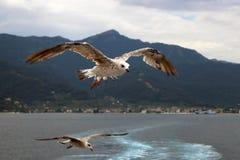 Två seagulls med spridningvingar i flykten arkivbilder
