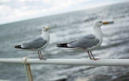 Två seagulls på promenadräcke Arkivfoto