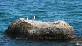 Två seagulls på stenen Arkivfoton