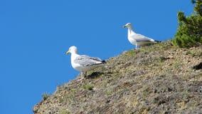 Två seagulls på stenen Arkivfoto