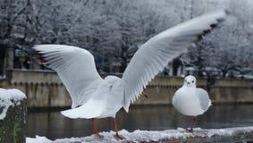 Två seagulls som är förälskade på Zurich arkivfoton