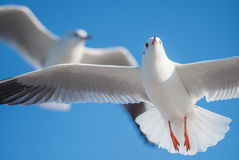 Två seagulls som över flyger Arkivfoton