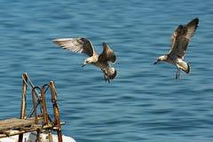 Två seagulls som förbereder sig att landa på en pir Arkivbilder