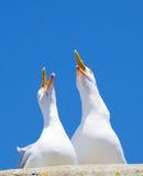 Två seagulls som högt skriar Arkivbilder
