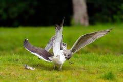 Två seagulls som slåss över en fisk Arkivbild