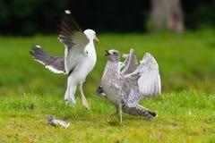 Två seagulls som slåss över en fisk Arkivbilder