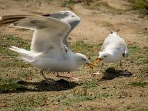 Två seagulls som slåss för mat på jordningen arkivfoton