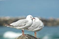 Två seagulls som står på en vagga, med en som putsar sig Arkivfoton