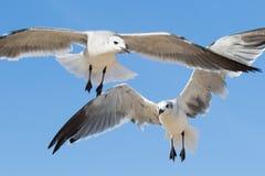 Två seagulls som uppe i luften flyger Royaltyfri Foto