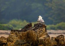 Två Seagulls vaggar på i stånghamnen Maine arkivbilder