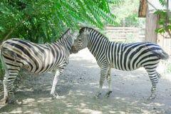 Två sebradjur Royaltyfri Foto