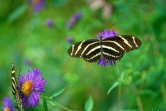Två sebraLongwing fjärilar royaltyfri foto
