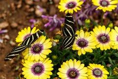 Två sebraLongwing fjärilar på gula och purpurfärgade tusenskönor Fotografering för Bildbyråer