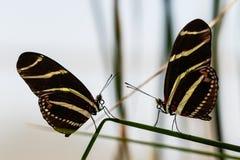 Två sebraLongwing fjärilar på samma blad som vänder mot sig Royaltyfri Bild