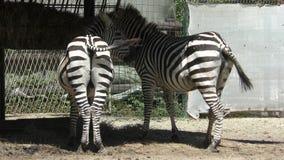 Två sebror äter gräs på zoo lager videofilmer
