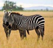 Två sebror i Amboseli royaltyfria foton