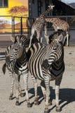Två sebror och två giraff Royaltyfri Bild