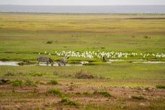 Två sebror som dricker i en sjö i savannahslätten av Ambosel royaltyfri foto
