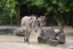 Två sebror som går på den Mulhouse zoo i Frankrike Alsace område Royaltyfria Foton
