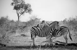 Två sebror som kelar i svartvitt Arkivfoto