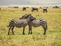 Två sebror som spelar med de i africa arkivbilder