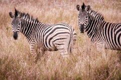Två sebror, Sydafrika Arkivfoton