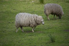 Två sheeps som äter gras i ängen arkivbild