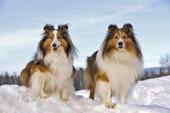 Två Shelties i snö arkivfoto