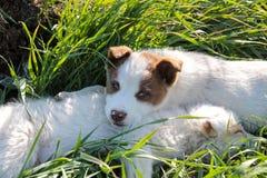 Två shephered hundvalpar som ligger koppla av ner på gräset arkivbilder