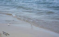 Två shorebirds som söker efter mat i sanden Detalj av vattnet och vågorna royaltyfria foton