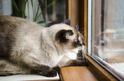 Två Siamese katter Arkivbild