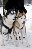 Två Siberian Husky Dogs av olika färger Arkivfoton
