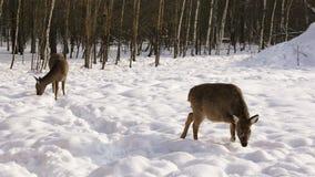 Två Sika hjortar i vinterskogen stock video