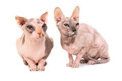 Två sittande fullblods- sfinxkatter Arkivfoto