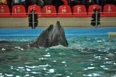 Två skämtsamma delfin Arkivfoto