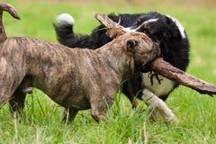 Två skämtsamma hundkapplöpning Royaltyfria Foton