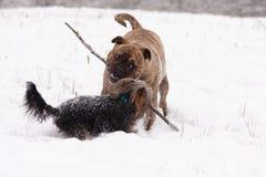 Två skämtsamma hundkapplöpning Arkivfoton