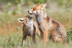 Två skämtsamma rävar Arkivfoto