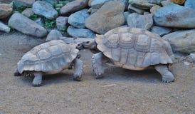 Två sköldpaddor på parkera Royaltyfri Fotografi